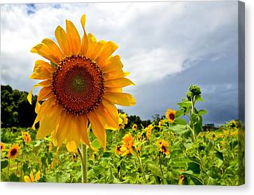 Sunshine On A Cloudy Day Canvas Print by AnnaJo Vahle