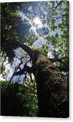 Sunshine Through The Trees Canvas Print by Matt Radcliffe