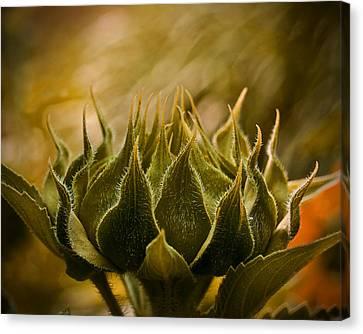 Super Sunflower Canvas Print
