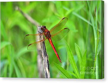 Superb Skimmer Canvas Print by Al Powell Photography USA