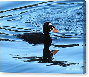 Canvas Print featuring the photograph Surf Scoter Blues by Gayle Swigart