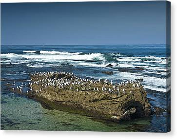 Surf Waves At La Jolla California With Gulls Perched On A Large Rock No. 0194 Canvas Print