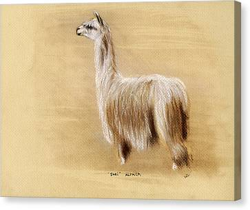 Suri Alpaca Canvas Print by Sara Cuthbert