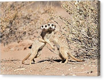 Suricates At Play Canvas Print by Tony Camacho