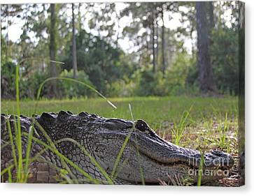 Surprise Alligator Houseguest Canvas Print