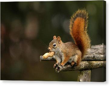 Surprised Red Squirrel With Nut Portrait Canvas Print by Debbie Oppermann