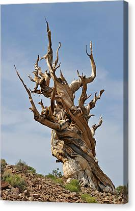 Survival Expert Bristlecone Pine Canvas Print by Christine Till