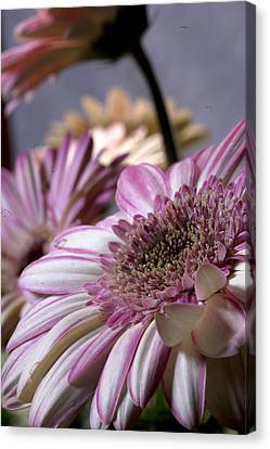 Susan G Komen Daisy Canvas Print by Robert Camp