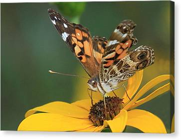 Susan Painted Lady Canvas Print