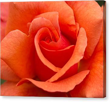 Suzanne's Rose Canvas Print by Cathy Donohoue