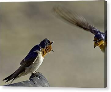 Hirundo Canvas Print - Swallow Fight by Mr Bennett Kent