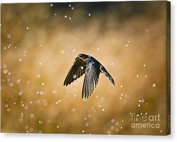 Swallow In Rain Canvas Print by Robert Frederick