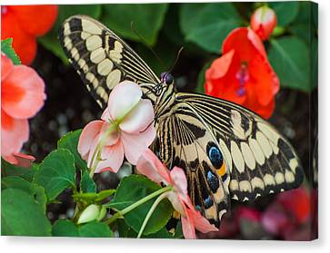 Swallow Tail Butterfly Canvas Print