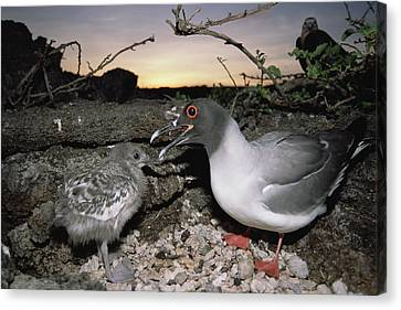Swallow-tailed Gull And Chick In Pebble Canvas Print by Tui De Roy