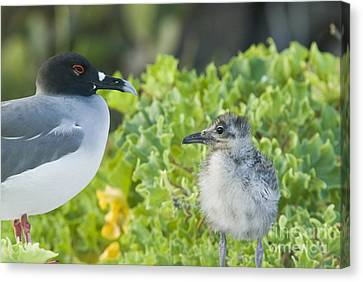Swallow-tailed Gull Chick And Adult Canvas Print by William H. Mullins