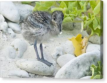 Swallow-tailed Gull Chick Canvas Print by William H. Mullins