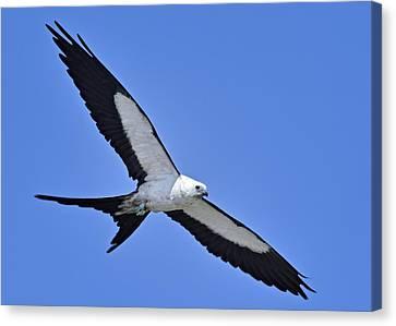Swallow-tailed Kite Canvas Print