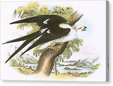 Swallow-tailed Kite Canvas Print by English School