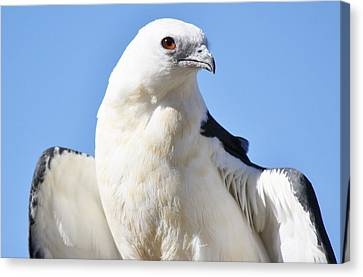 Swallow-tailed Kite Canvas Print by Paulette Thomas