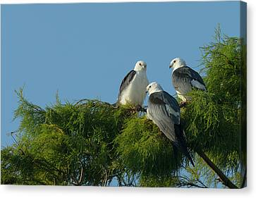 Swallow-tailed Kites Roosting Canvas Print by Maresa Pryor