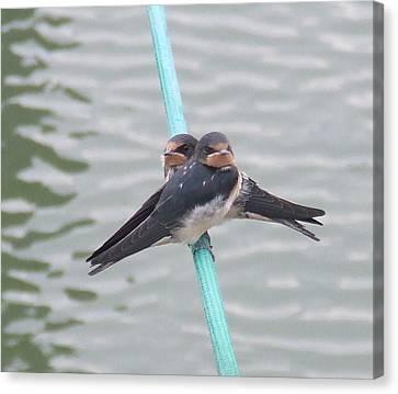 Swallows Canvas Print
