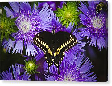Swallowtail And Astor Canvas Print by Debra Crank