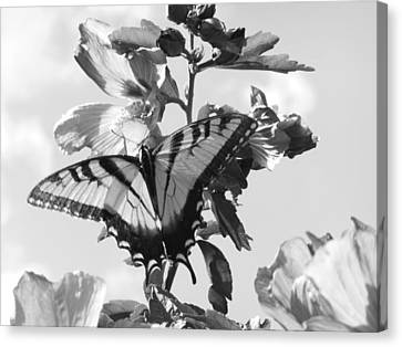 Swallowtail And Rose Of Sharon Bw Canvas Print by Diannah Lynch