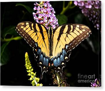 Swallowtail Beauty Canvas Print by Eve Spring