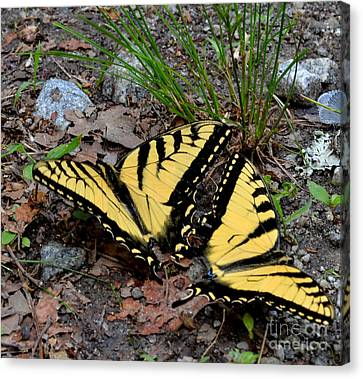 Swallowtail Butterfly Couple Canvas Print by Eva Thomas