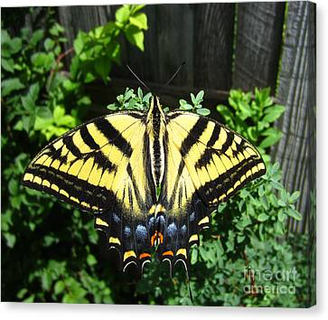Swallowtail Butterfly Feeding Canvas Print