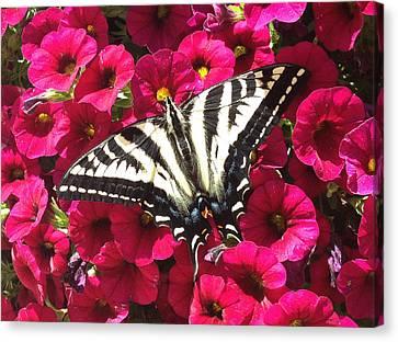 Swallowtail Butterfly Full Span On Fuchsia Flowers Canvas Print