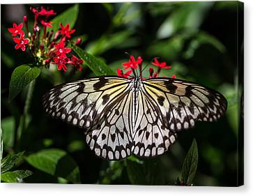 Swallowtail Butterfly Canvas Print by Henry Inhofer