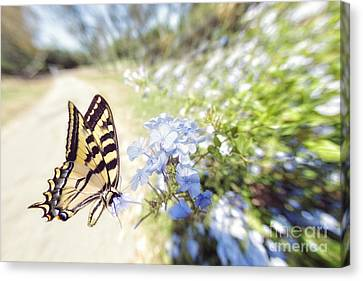 Swallowtail Butterfly In Spring Canvas Print