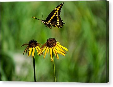 Butterfly In Motion Canvas Print - Swallowtail Butterfly by Janet Strief