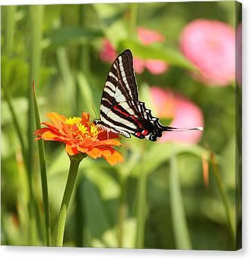 Charming Cottage Canvas Print - Swallowtail Butterfly by Kim Hojnacki