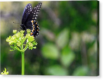 Swallowtail Butterfly Canvas Print by Lorri Crossno