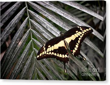 Swallowtail Butterfly Canvas Print by Olivier Le Queinec