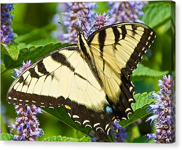 Swallowtail Butterfly On Anise Hyssop Canvas Print