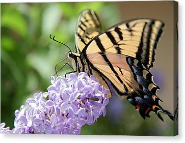 Swallowtail Butterfly On Lilac Canvas Print