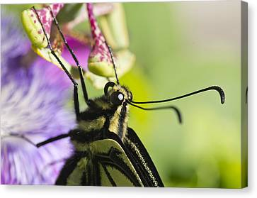 Canvas Print featuring the photograph Swallowtail Butterfly by Priya Ghose