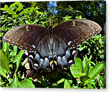 Swallowtail Butterfly Canvas Print by Susan Leggett