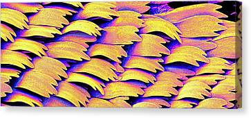 Swallowtail Butterfly Wing Scales Canvas Print