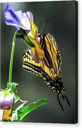 Swallowtail Hang Canvas Print by Dawn Key