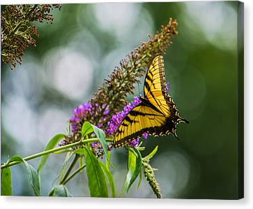 Tiger Swallowtail Canvas Print - Swallowtail IIi by Jon Woodhams