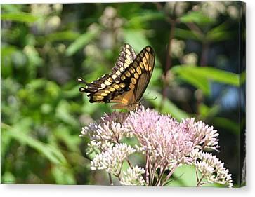 Canvas Print featuring the photograph Swallowtail by Karen Silvestri