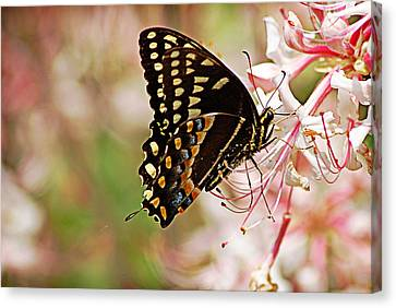 Swallowtail Canvas Print by Linda Brown