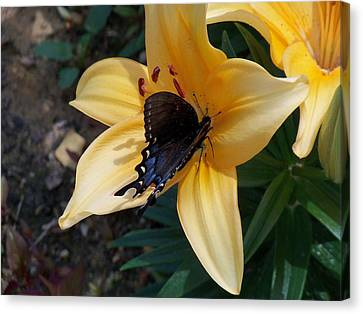 Canvas Print featuring the photograph Swallowtail On Asiatic Lily by Kathryn Meyer
