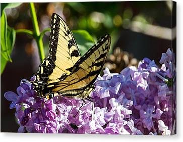 Swallowtail On Lilac Canvas Print