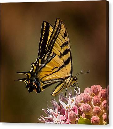 Swallowtail On Milkweed Canvas Print