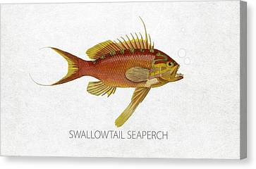 Angling Canvas Print - Swallowtail Seaperch by Aged Pixel